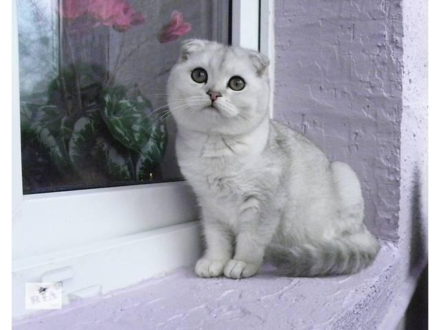 бу роскошный мальчик окраса серебряная шиншилла. в Киеве