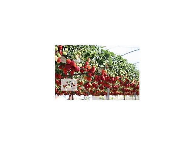 Рассада клубники и малины- объявление о продаже  в Тернополе