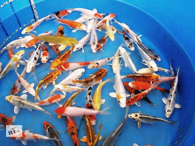 бу рыбки для пруда,ферма карп кои в Киеве