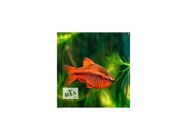 Рыбки, обитатели аквариумов- объявление о продаже  в Киеве