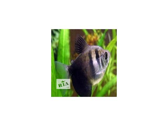 купить бу Рыбки в аквариум в Киеве