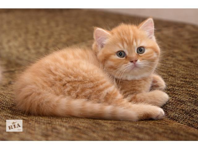 Рыжие (красные)  британские котята- объявление о продаже  в Луцке