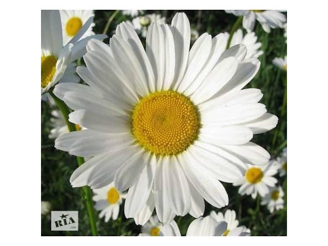 бу Саженцы ромашки крупноцветковой в Виннице