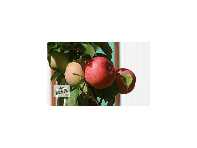 Саженцы яблонь- объявление о продаже  в Немирове