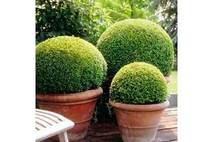 Вечнозеленые кустарники