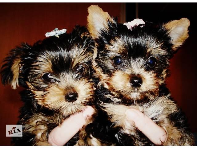 Самые красивые щеночки йорки ждут своих хозяев- объявление о продаже  в Мариуполе