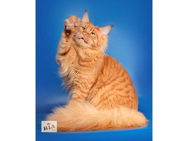 купить бу Самые лучшие котята мейн-кун! Высшие оценки судей! Best in show!! в Харькове