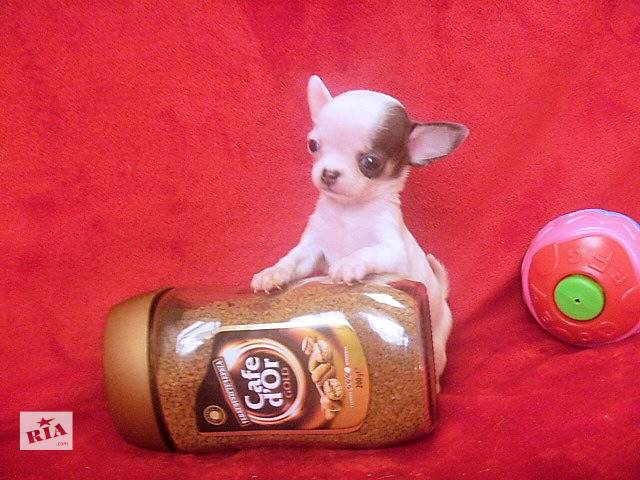 Самые маленькие микро щеночки.Доставка- объявление о продаже  в Львове