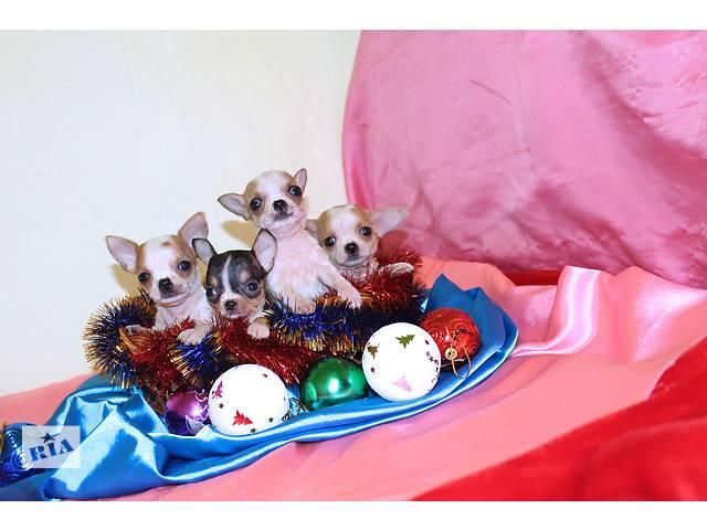 купить бу Самые маленькие микро щеночки.Доставка в Киеве