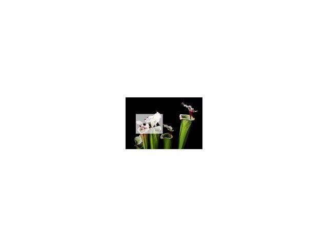 купить бу Саррацения растение хищник, купить в Ужгороде