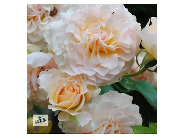 бу Саженцы английской розы Экскалибур (Excalibur)  в Хмельницком