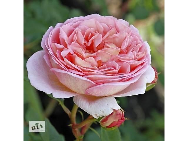 продам Саженцы английской розы Нежность (Subtlety) бу в Хмельницком