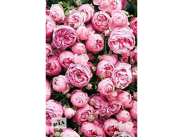 продам Саженцы английской вьющейся розыHeart of Rose (Сердце розы)  бу в Хмельницком