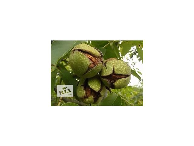 Саженцы грецкого ореха «Урожайный»- объявление о продаже  в Харькове