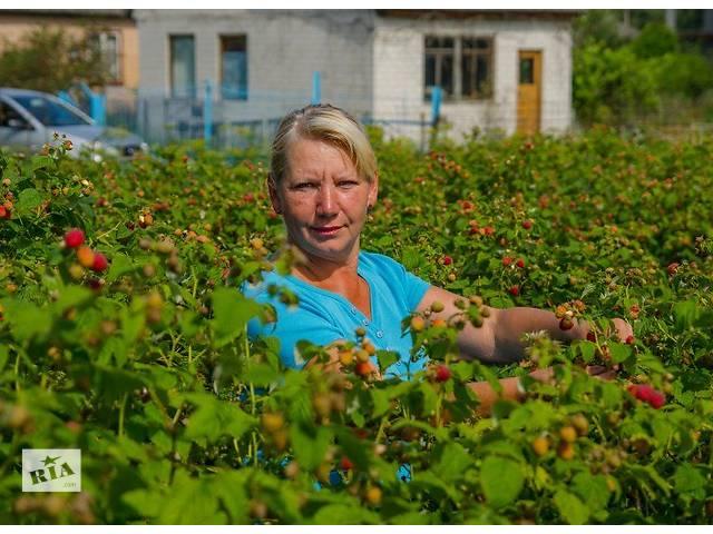 Саженцы малины  Каскад-Делайт ( Cascade Delight )- объявление о продаже  в Черкассах