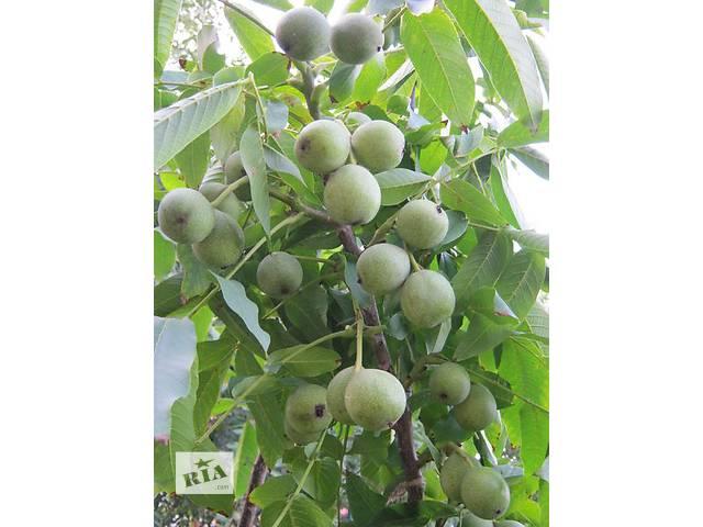 Саженцы ореха идеал и яровской- объявление о продаже  в Александрие