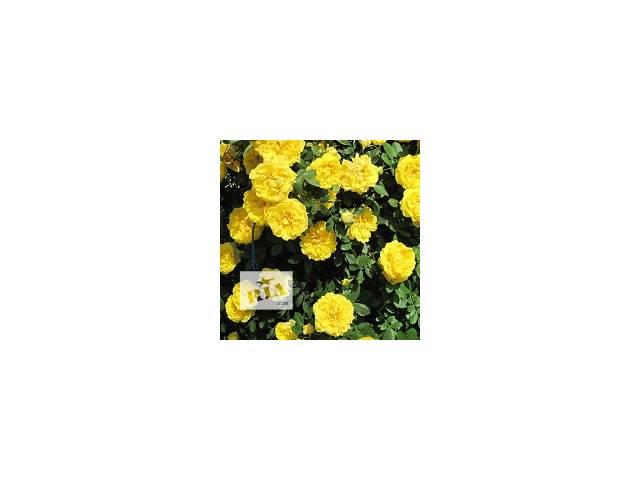 купить бу Саженцы парковой розы Консуелла в Хмельницком