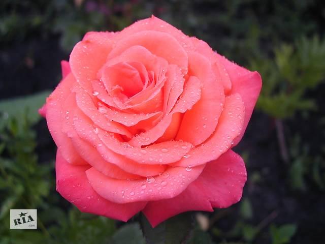 бу Саженцы плетистой (вьющейся)розы Павлиний глаз в Хмельницком