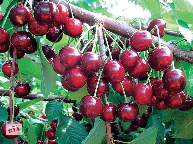 бу Саженцы плодовых деревьев. в Сокирянах