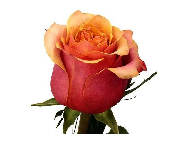 купить бу саженцы роз 40 сортов в Запорожье