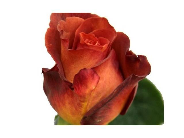 купить бу Саженцы роз в Сумах