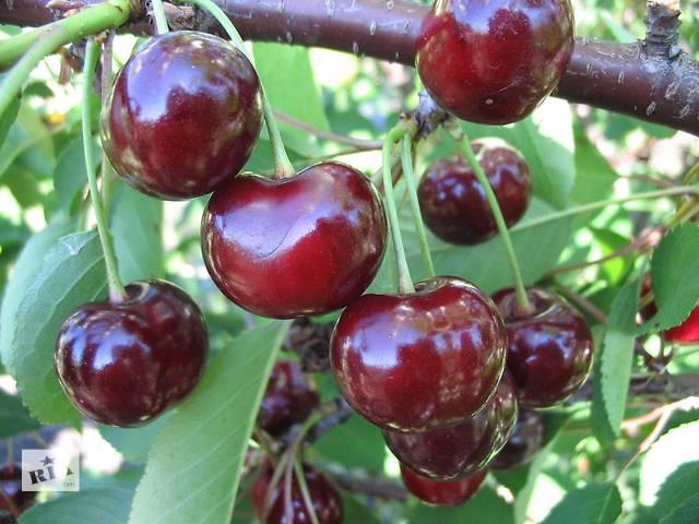 Саженцы вишни 3-х летние с закрытым корнем. Сорта в ассортименте- объявление о продаже  в Киеве