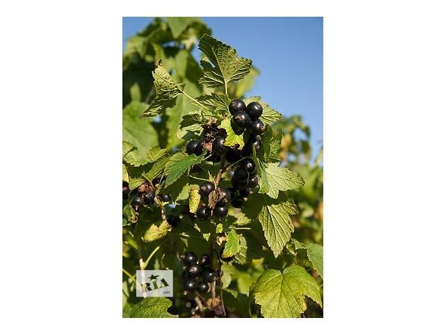 саженцы и черенки черной смородины- объявление о продаже  в Виннице