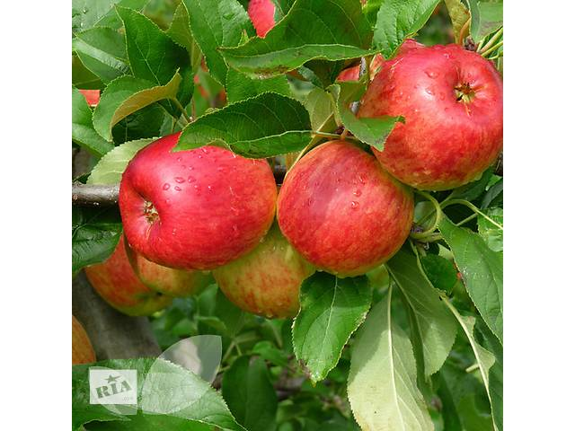 продам Саженцы яблони 3-х летние с закрытым корнем. Сорта в ассортименте бу в Киеве