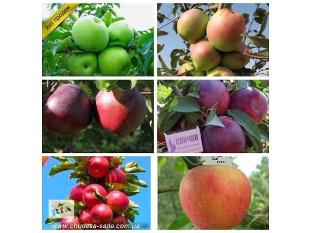 продам Саженцы яблони 46 сортов на среднерослом подвое.Высылаем почтой. бу в Днепре (Днепропетровск)