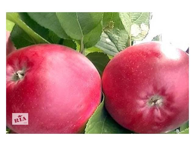 продам Саженцы яблони бу в Кельменцах