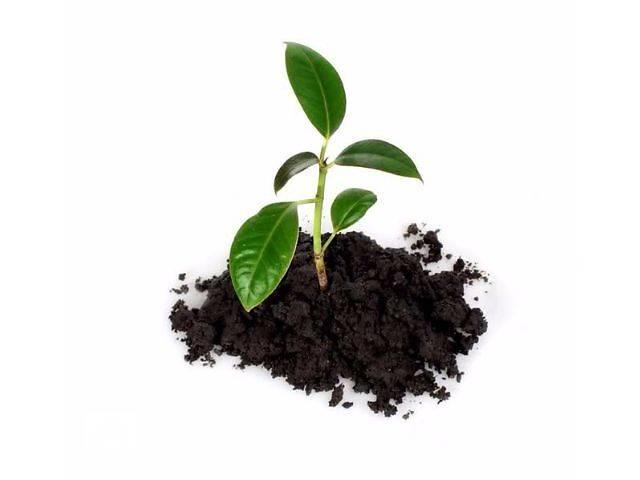 бу Саженцы березы, дуба, сосны, ели, рябины, вишни, сливы, абрикосы и др. в Чернигове