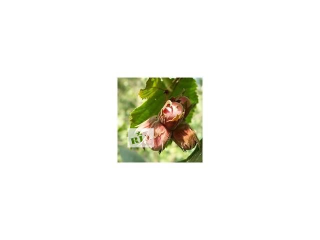 """продам Саженцы  элитных сортов фундука """"Чудеса сада"""" бу в Днепре (Днепропетровск)"""
