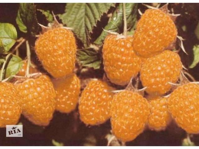 купить бу Саженцы  малины желтой в Николаеве