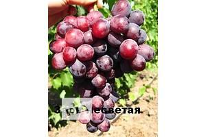 Новые Саженцы винограда