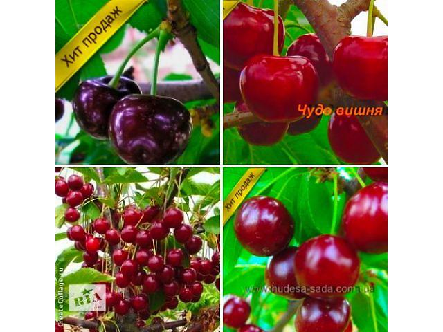 Саженцы крупноплодных сортов вишни и черешни- объявление о продаже  в Кропивницком (Кировоград)