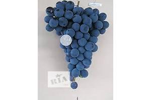 Саженцы винограда Совиньон белый, Лидия, Буффало морозоустойчивые, устойчивые от болезней, урожайные