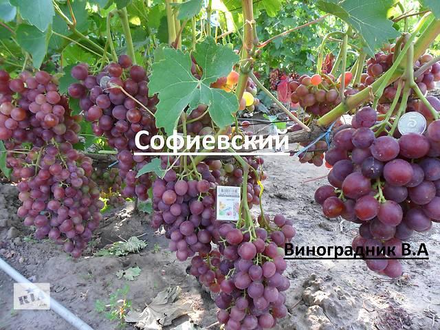 купить бу Саженцы и черенки винограда Блэк Фингер(Черный палец),преображение. в Днепрорудном