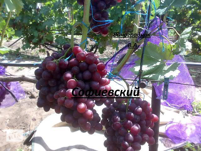 продам Саженцы и лоза Новых перспективных сортов винограда бу в Днепрорудном