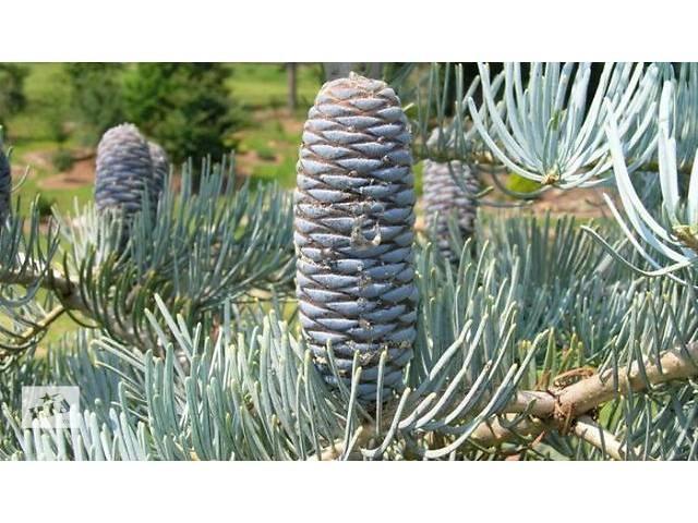 Насіння Abies concolor glauca (Ялиця одноколірна блакитна)- объявление о продаже  в Львове