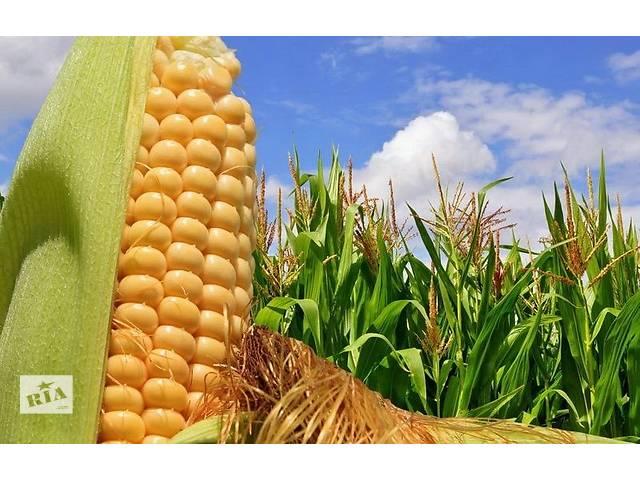 продам Семена кукурузы Порумбень 351 бу в Пятихатках (Днепропетровской обл.)