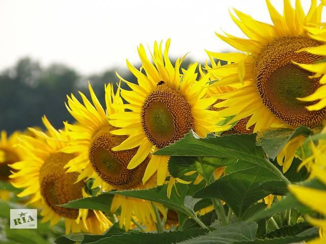 продам Семена подсолнечника ВНИС: Армагедон, Украинский Ф1, Украинское солнышко бу в Синельниково