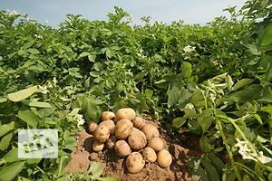 Семена Картофель новый