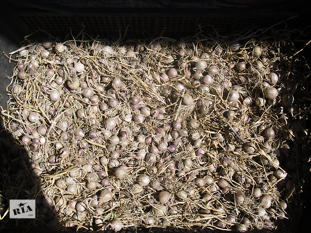 продам семена озимого чеснока-однозубка бу в Гайсине