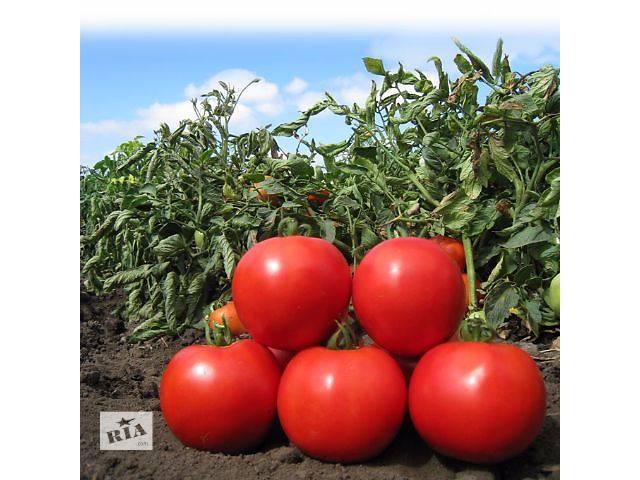 Семена томата KS 829 F1 (Китано)- объявление о продаже  в Киеве
