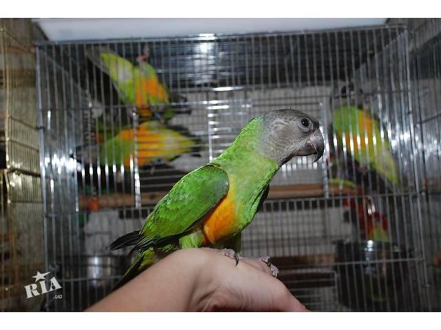 продам Сенегал, ручной сенегальский попугай, птенцы выкормыши бу в Киеве