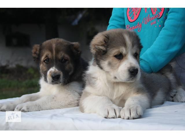 бу щенки Алабая САО  в Миргороде