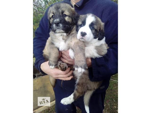 купить бу щенки алабая в Симферополе