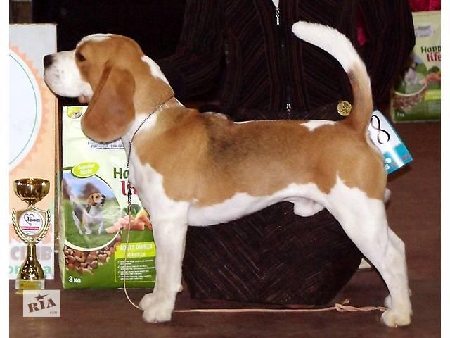 купить бу щенки бигля шоу класса от пары из Дании в Харькове
