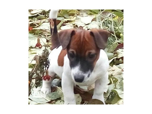 продам щенки джек рассел терьера бу в Днепре (Днепропетровск)