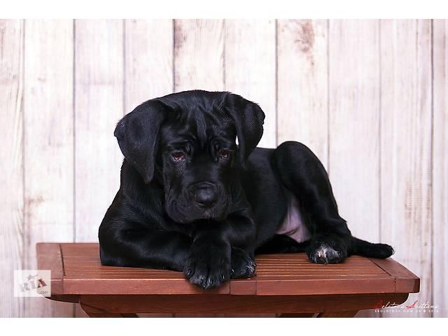 купить бу щенки кане корсо в Одессе